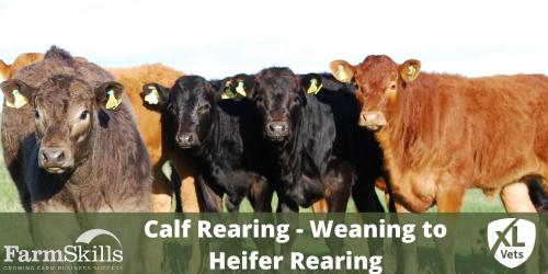 Calf Rearing - Weaning to Heifer Rearing